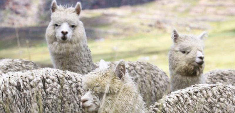 Alpaca Fabrics